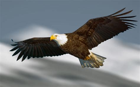 Bald Eagle Images Bald Eagle Wallpaper Hd Images One Hd Wallpaper Pictures