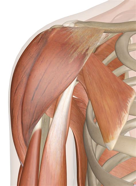 Tutorials on the shoulder muscles (e.g rotator cuff muscles: Muscles of the Shoulder - Anatomy Pictures and Information