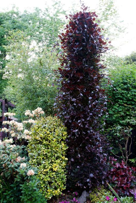 Fagus Sylvatica Beech Dawyck Purple Landscape Trees