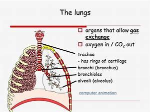 Lungs - Presentation Biology