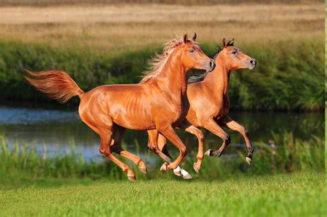 arabian horses arent built