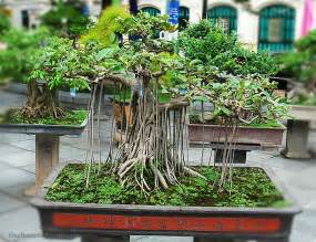 real hair clip in extensions real ficus retusa mini bonsai plant of coloeuful