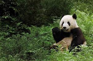 Wild Things: Giant Pandas, an Ancient Ibis and More ...
