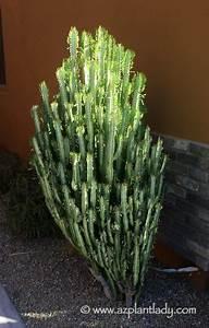 Euphorbia Trigona Vermehren : add variety and color to your landscape with euphorbias ~ Orissabook.com Haus und Dekorationen