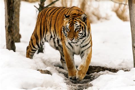 More Big Cats In The Snow For Christmas