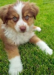 Pups by audieparsons on Pinterest | Australian Shepherd ...