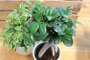 Ficus Bonsai Schneiden : ficus ginseng pflege ein bonsai ficus ginseng ist fast berall erhltlich und das erst seit dem ~ Indierocktalk.com Haus und Dekorationen