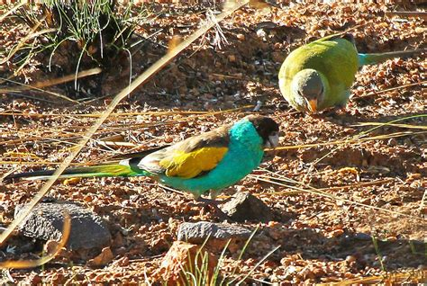 hooded parrot wikipedia