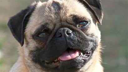 Pug Wallpapers Dog Pet Smiling Names Dogs
