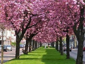 Sakura Baum Kaufen : bild von einer strassen allee mit japanischen zierkirschen oder bl tenkirschen der sorte prunus ~ Frokenaadalensverden.com Haus und Dekorationen