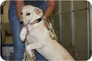 eve | Adopted Dog | Prince William County, VA | Labrador ...