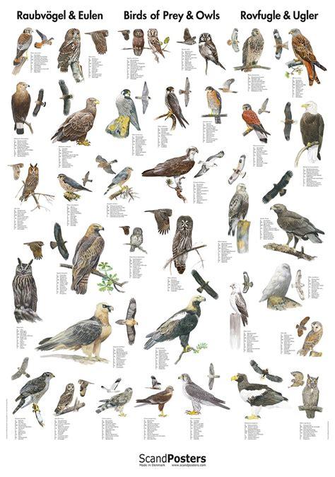 prey owl poster poster   common preys  owls