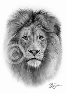 Pencil Drawings: Free Pencil Drawings Of Lions