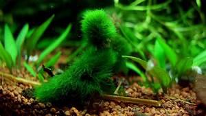 Sauerstoff Im Aquarium : gr nalgen astalge cladophora ~ Eleganceandgraceweddings.com Haus und Dekorationen