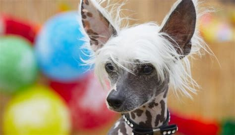 Ķīnas cekulainais suns - neparastais 'hipijs', kurš mīl ...