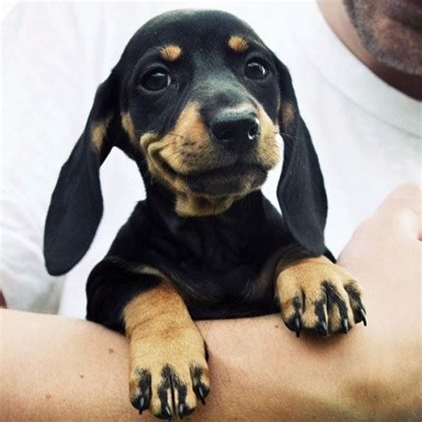 Datsun Puppies by And Now More Dachshund Puppy Pictures Than You Can Handle