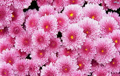 169+ Flower Backgrounds, Wallpapers, Pictures, Images