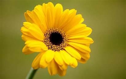 Yellow Gerbera Flower Wallpapers Background Flowers Desktop