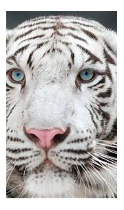 Central Wisconsin State Fair's White Tiger Exhibit Sparks ...