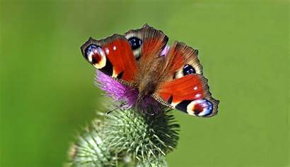 Butterfly Peacock Backgrounds Garden