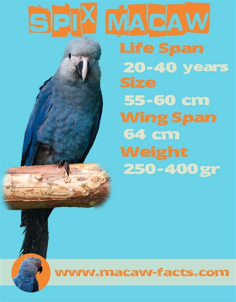 macaw lifespan spix macaw lifespan size and weigth macaw facts