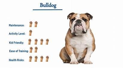 Bulldog Glance Know Dog Breeds Everything Need