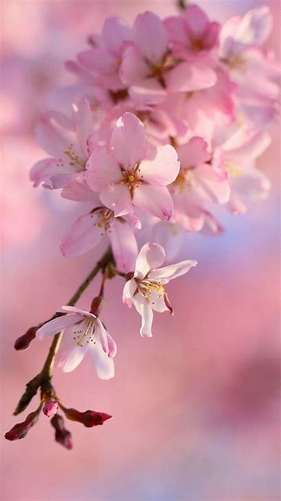 Sakura Blossom Cherry Wallpapers Iphone Wallpaperboat