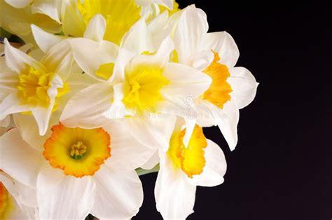 Inviare fiori bianchi è sempre la scelta giusta ! Fiori Della Primavera Della Giunchiglia Gialla Su Fondo Nero Immagine Stock - Immagine di colore ...