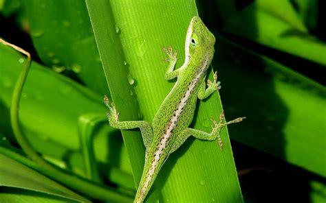green lizard  leaf wallpaper hd wallpaperscom