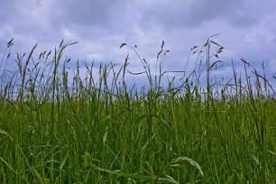 Common Grass Weeds Wisconsin