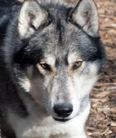 Alaskan Malamute German Shepherd Husky Mix