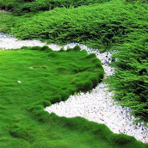Asian Gardens Grass Valley by Zoysia Tenuifolia No Mow Grass Tranquil Havens Australia