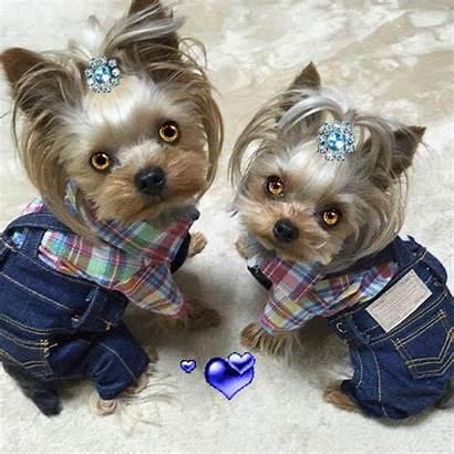 Puppies Dogs Diamond Yorkie Stitch Cross Yorkshire