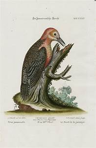 Woodpecker  Picus Jamaicensis From George Edwards