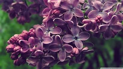 Lilac Wallpapers Desktop Wallpoper 4k Purple Wallpaperswide