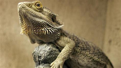 what kind of heat l for bearded dragon bearded dragon pogona barbata care sheet lizard types