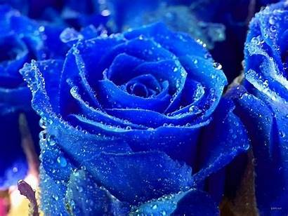 Rose Flowers Flower Desktop Wallpapers Please Roses