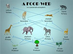 Food Web And Food Chain Comparison  U2013 Teacha