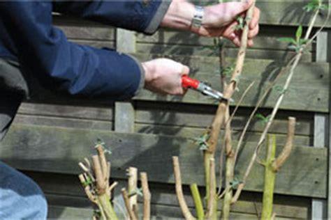 coupe d un hibiscus