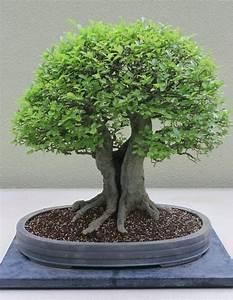 Bonsai Baum Garten : 341 besten bonsai bilder auf pinterest bonsai blume und ~ Lizthompson.info Haus und Dekorationen