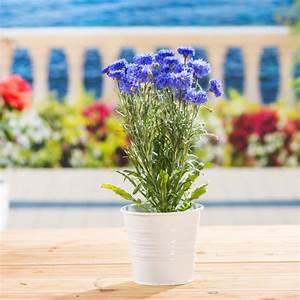Designermöbel Günstig Online Kaufen : kornblume blau centaurea cyanus blau g nstig online kaufen ~ Bigdaddyawards.com Haus und Dekorationen