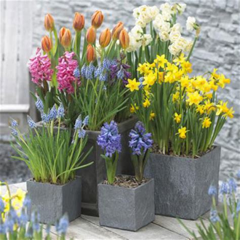 growing iris in pots bulbs are easy container garden project bulbsareeasy
