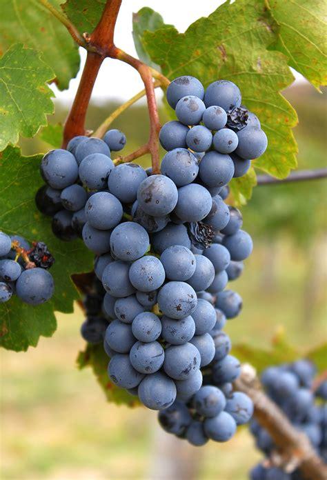 file laska grape cluster jpg wikimedia commons