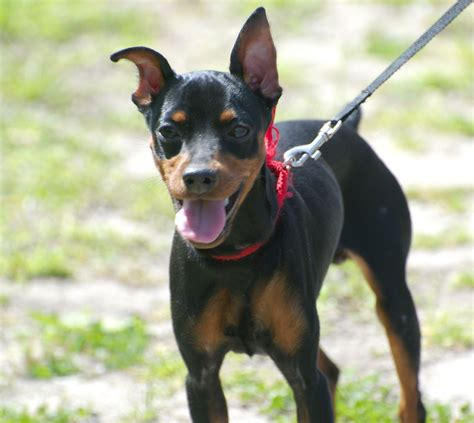 american rat pinscher american rat terrier and miniature pinscher mix appearance temperament