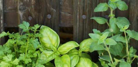 herbes aromatiques en cuisine les herbes aromatiques en cuisine astuces une culture en