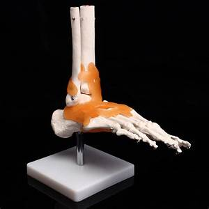 Life Size Foot Ankle Joint Anatomical Skeleton Model Human