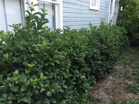 how to trim bushes in the how to trim hedges miss smarty plants