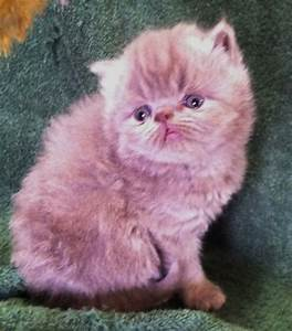 himalayan kittens for sale | Upcoming Persian Kittens For Sale