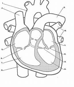 Cardiac Cycle Drawing At Getdrawings