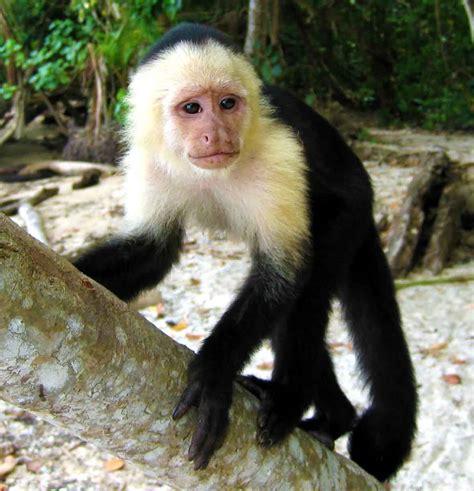 capuchin monkey capuchin monkey monkeys pinterest monkey primate and orangutan